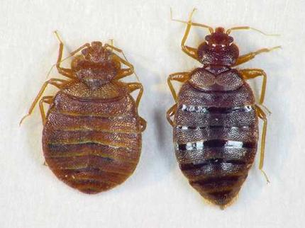 bedbugs wideweb  430x322